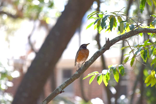 This is a photograph of an American robin sitting on the limb of a cherry laurel tree