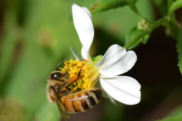 This is a photograph of a honey bee on a bidens flower
